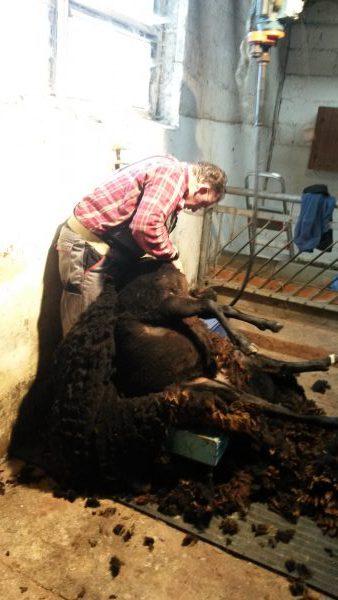 Ein Schaf wird sitzend geschoren
