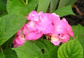 Hortensienblüte zwischen grünen Blättern