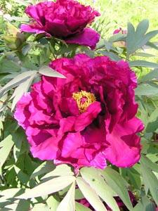 pinkfarbene Blüte