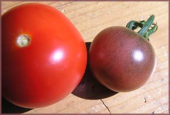 rote und schwarze Tomate